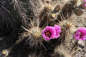 bliska, kwitnące, beczki, Kaktus, ciernie