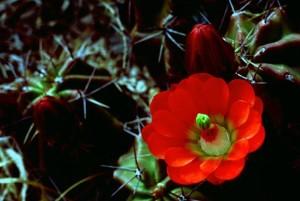 Crassula, triglochidiatus, claret, kup, kaktus