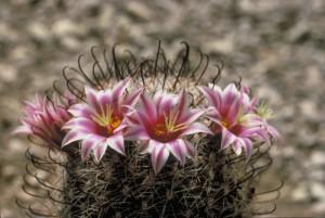 haczyk, Kaktus