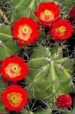 flori, claret, Cupa, cactus