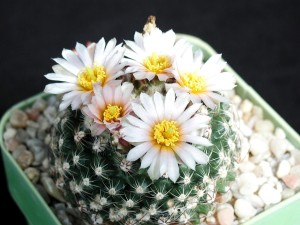free, flower, cactus