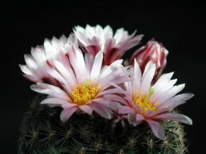 svetloružová, kaktus, kvet