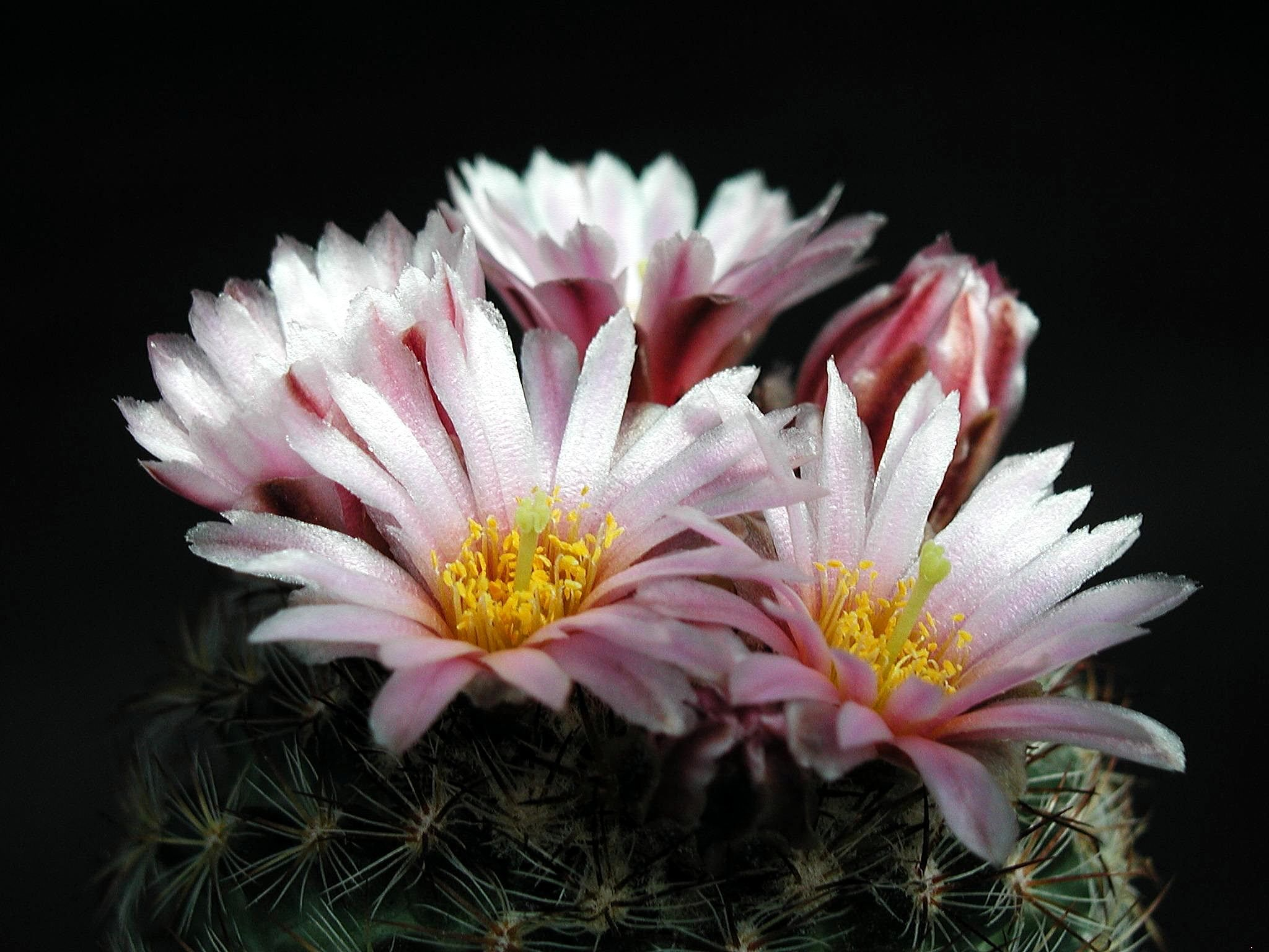 Free Picture Light Pink Cactus Flower