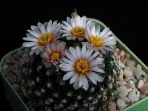 frumos, flori, cactusi