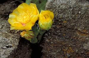 opuntia, humifusa, épineux, poire, cactus, plante