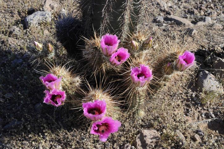 ping, cu flori purpurii, baril, cactus, sonoran desert