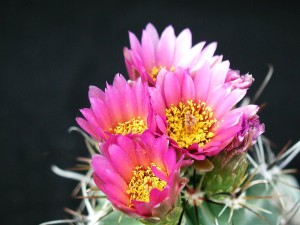 pink flowers, cactus