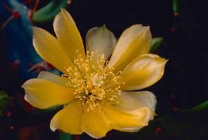 épineux, poire, cactus, fleurs