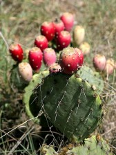 prickly, pear, cactus, Texas