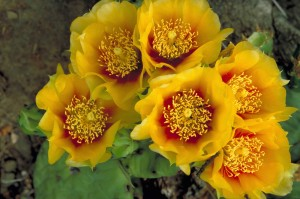 prickly, pear, cactus, orange flowers, opuntia, humifusa