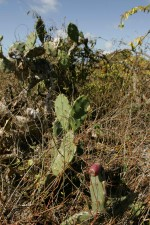 prickly, pear, cactus, fruit, growing, underbrush, opuntia, oricola