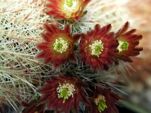 red, blooming, cactus, flower