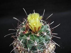 épine, cactus, plante