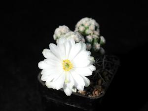 white, cactus