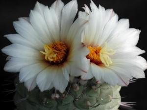 vit, kaktus, bloomig