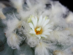 blanc, cactus, macro, détails