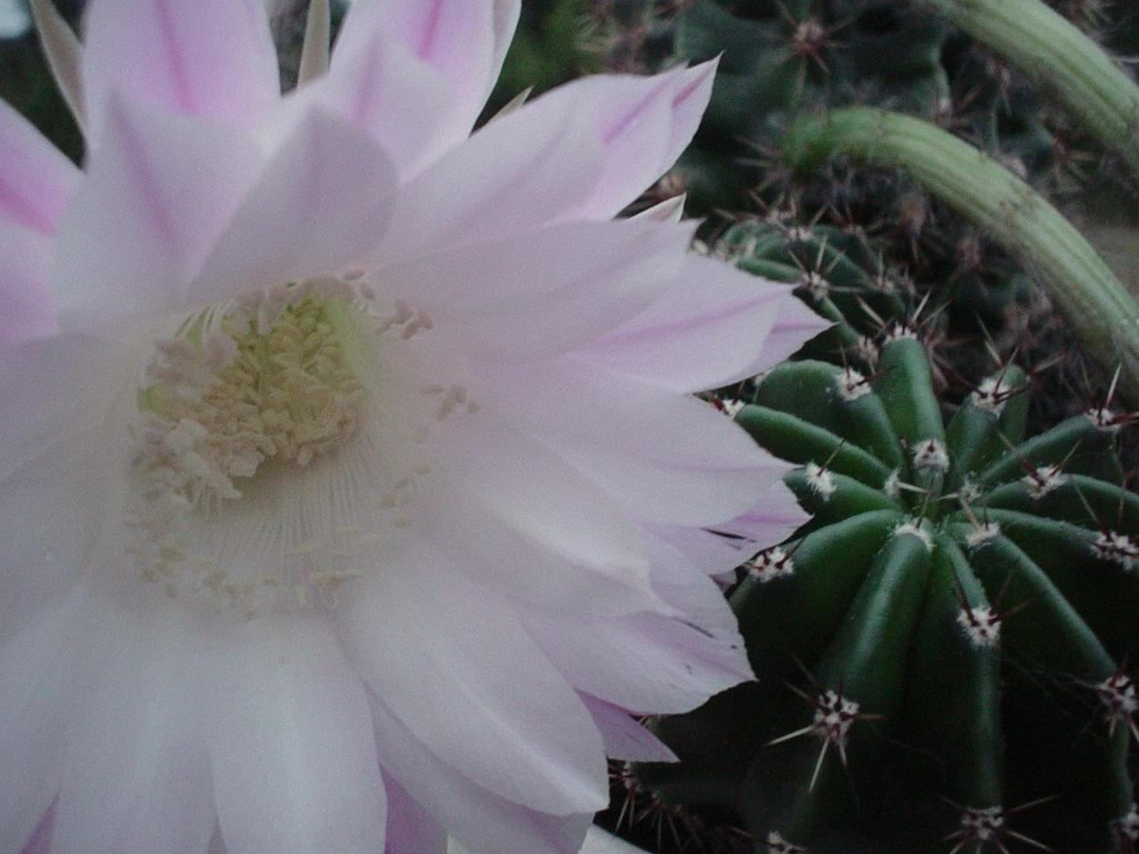 Free Picture White Flower Cactus