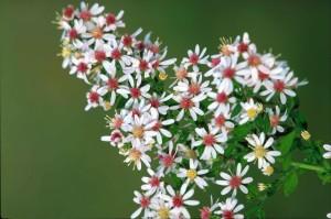 Calcio, астры, цветок, растения, Астра, lateriflorum