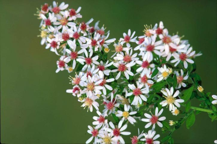calcio, aster, flower, plant, symphyotrichum, lateriflorum