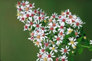 calicot, aster