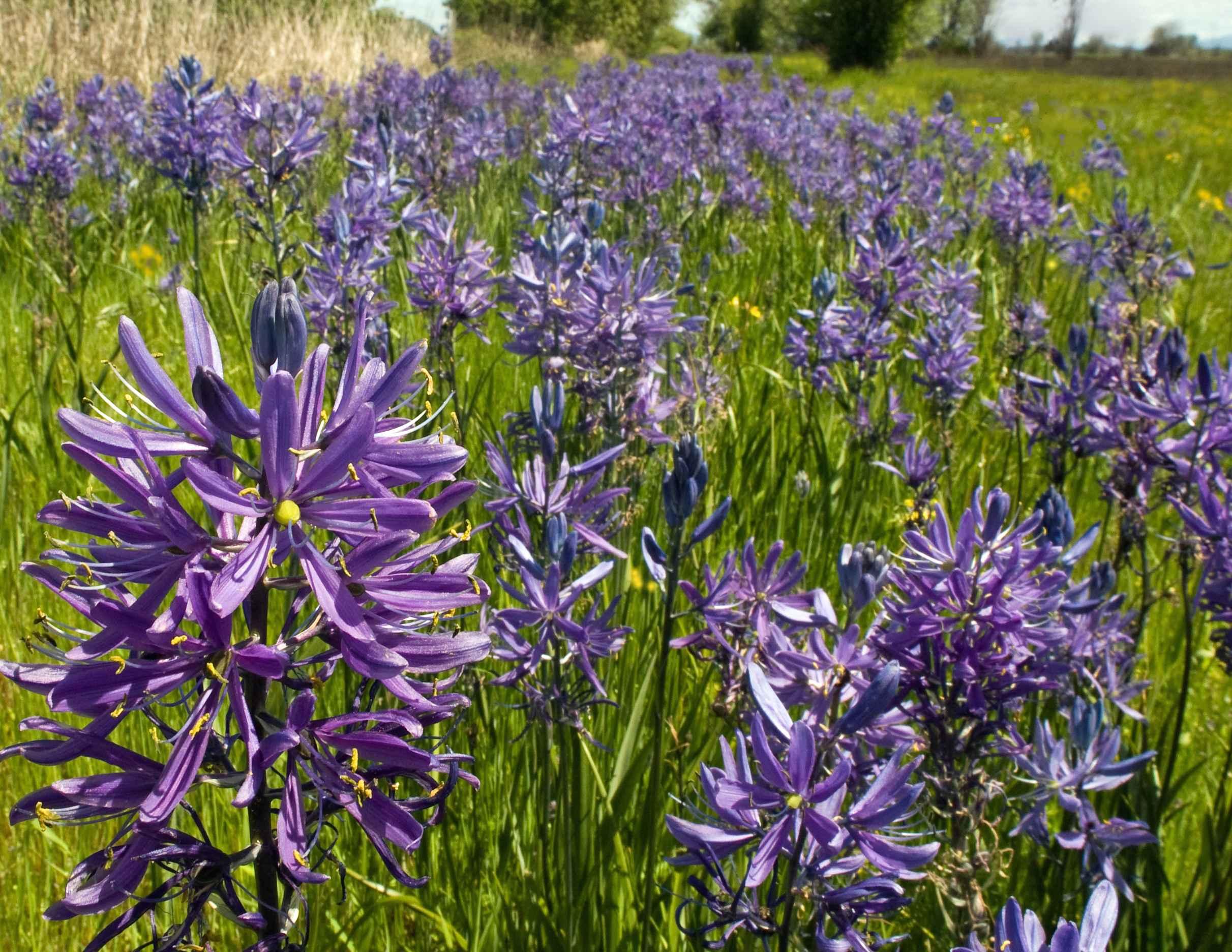 Free photograph; camas, flower, plant, petals, camassia, leichtlinii