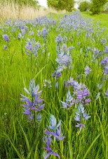camassia, leichtlinii, camas, flowers, high, grass