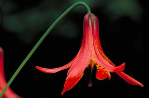 Canada, lily