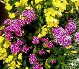 modrá, fialová, turecká, karafiátů, květ