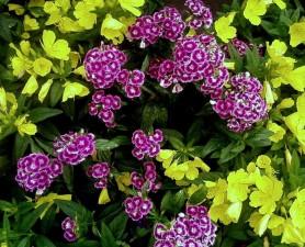 Multifarve, blomster, tyrkisk, nellike, blomst