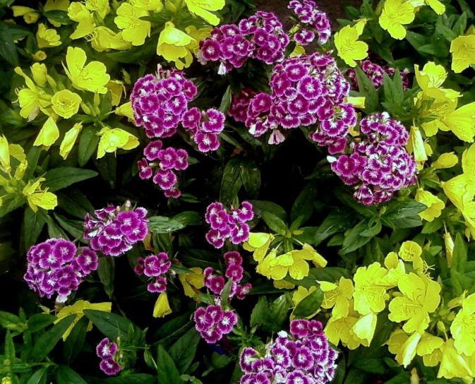 çok renkli, çiçek, Türk, karanfil, çiçek