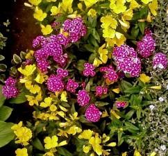 pourpre, turc, fleurs