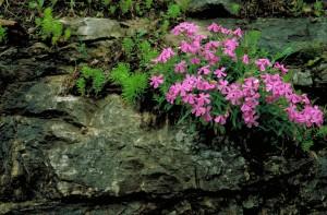 carolina, wild, pink flower