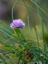 cebollino, azul, hierba