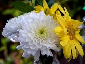 krizantém, virág