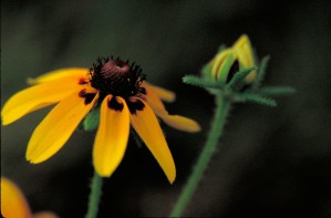 clasping, leaf, coneflower