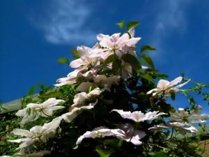 clemitis, fleurs