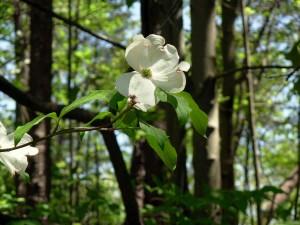 up-close, dogwood, blossom, flower
