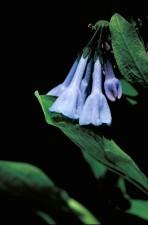de près, bleu, bois, fleur, Mertensia, virginica
