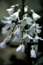 de près, de nombreuses fleurs blanches, légères, nuances, rose