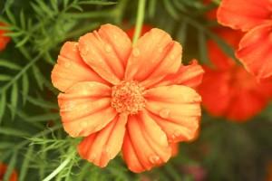 up-blízko, pomarančový kvet