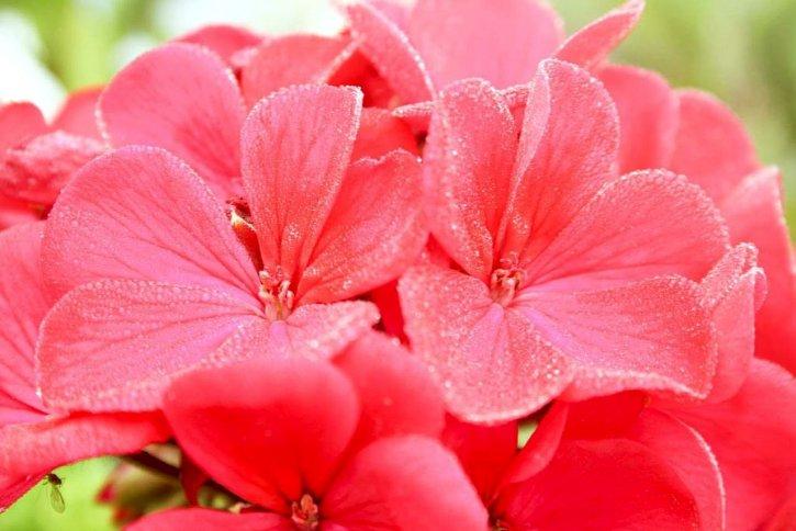 kvetina, okvetné lístky, up-blízko, ružové kvety