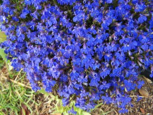 clump, blue flowers