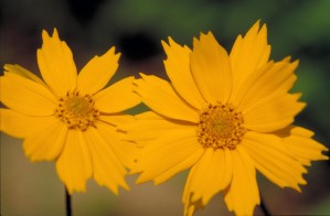 Coreopsis, auriculata, Vale, coreopsis