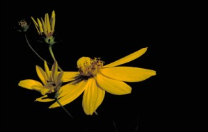 Coreopsis, grote