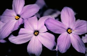 kruipen, phlox, bloem