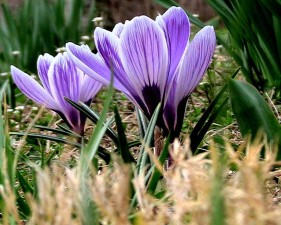 crocus, plant, flowering
