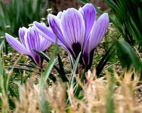 Krokus, Pflanze, Blüte