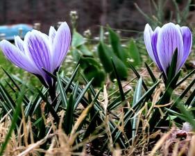 Krokus, lila Blume