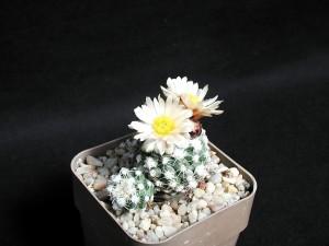 flower, pot, cacti, desert plant