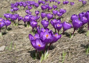 фиолетовый, Крокус, Крокус, Верн